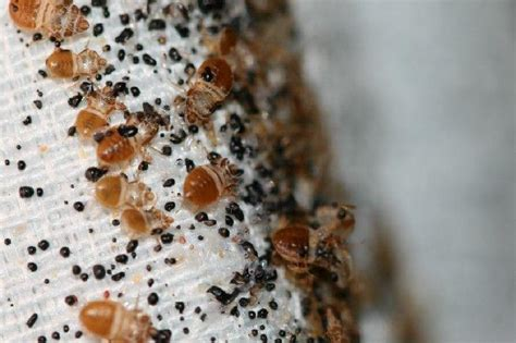 what causes bed bugs to come out how to get rid of a bedbug infestation the easy way