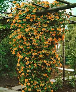 large flowered climbing plant honeysuckle goldflame honeysuckle goldflame lonicera