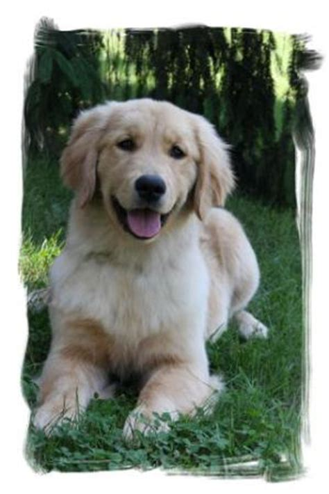 golden retriever breeder michigan golden retriever breeders michigan photo