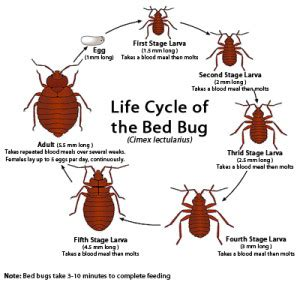 bed bug bite symptoms bed bug bites signs symptoms and treatment