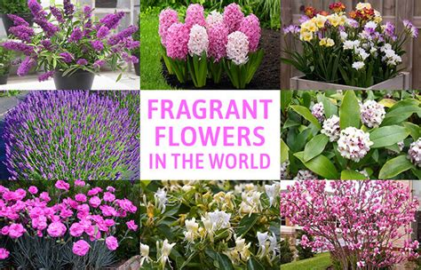 beautiful fragrant flowers   world home