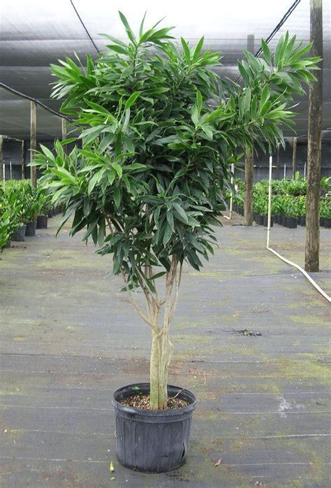 dracaena reflexa 133 best images about landscape plant softscape on