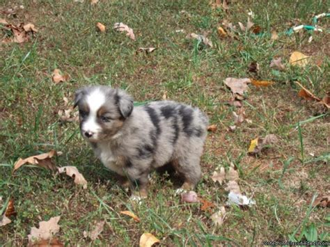 blue merle australian shepherd puppies for sale blue merle australian shepherd puppies for sale