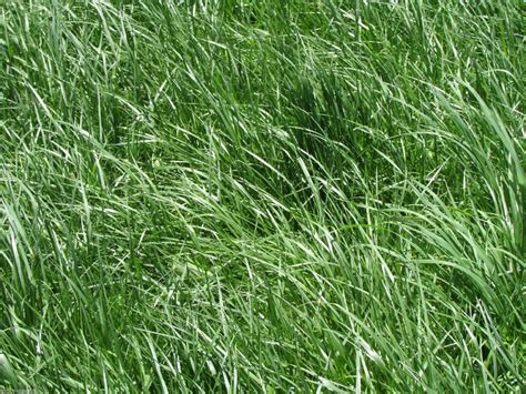 kentucky 31 tall fescue grass seed quot raw quot 20 lbs ebay