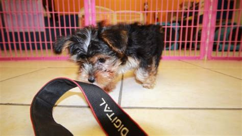 yorkie poo atlanta friendly yorkie poo puppies for sale in atlanta ga at puppies for sale