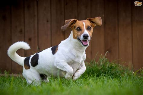 imagenes of jack russell the hugely popular jack russell terrier pets4homes
