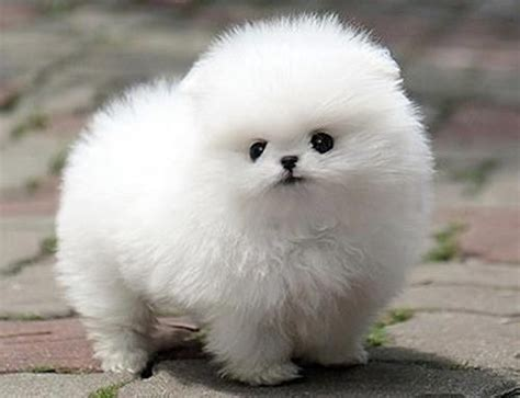 puffball puppy puff puppy fluffy creatures