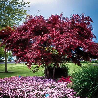 emperor japanese maple for sale the tree center
