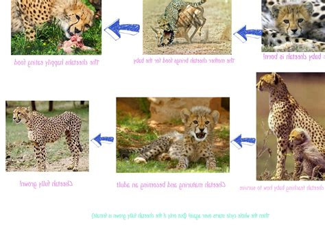 cycle of a cheetah cycle pictures to pin on pinsdaddy