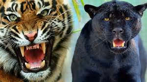 Tiger Vs Jaguar Fight Animals Fighting To Black Panther Vs Tiger Epic