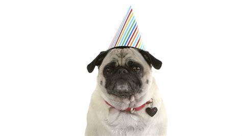 pug with birthday hat a pug in a birthday hat burps and then licks stock footage