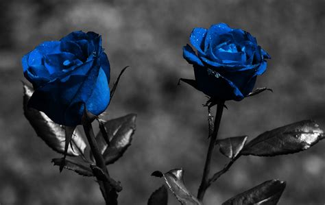 black rose themes blue rose wallpapers hd pictures one hd wallpaper