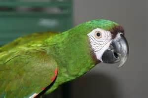 my severe macaw baby parrotdise pinterest