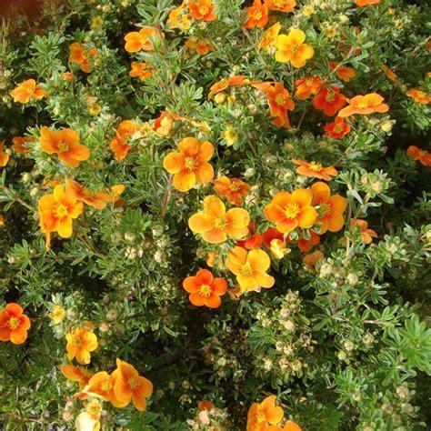 potentilla fruticosa plant kobold trees and shrubs - Shrubs Flowers