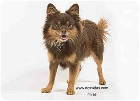 pomeranian rescue bc vancouver bc pomeranian mix meet coco a for adoption