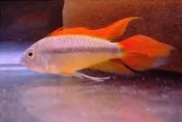 Ikan Apisto Agassizi Gold Apistogramma Agassizi Gold fotogalerie milan ullman