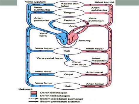 Janin Adalah Organ Mekanisme Peredaran Darah Manusia