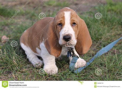 free basset hound puppies basset hound puppy 16 background wallpaper dogbreedswallpapers