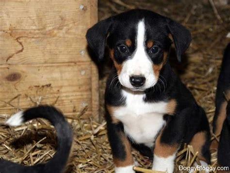 appenzeller sennenhund puppies 16 best images about appenzeller sennenhund on swiss mountain dogs puppys