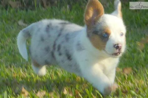 cardigan corgi puppies for sale price corgi cardigan puppy for sale near dallas fort worth 38962010 be21
