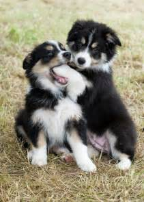 border collie puppies illinois best 25 border collie puppies ideas on collie puppies border collie mix