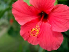 red flowers for your garden saga