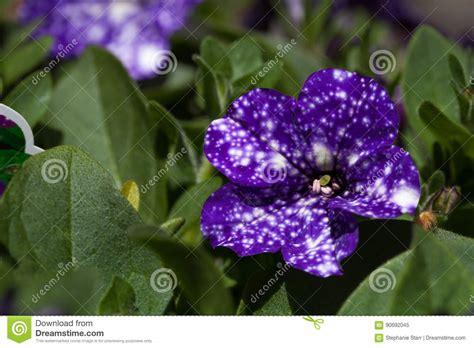 la flor purpura ficcion 8425338972 flor p 250 rpura de la petunia del cielo nocturno foto de archivo imagen 90692045