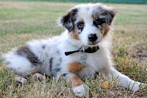 australian shepherd puppy names australian shepherd temperament names rescue adoption