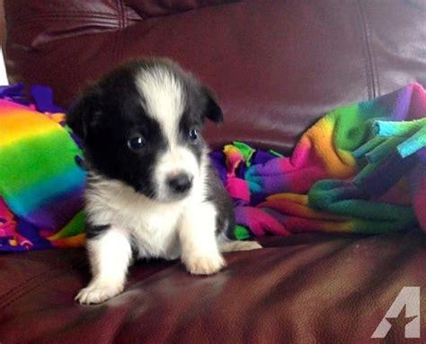 borgi puppies for sale borgi puppies corgi x border collie cross for sale in allerton iowa classified