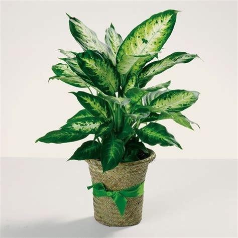 pianta appartamento piante da appartamento resistenti piante appartamento