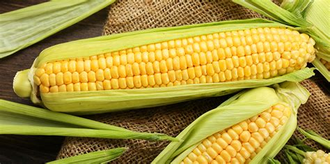 can dogs corn can dogs eat corn purina