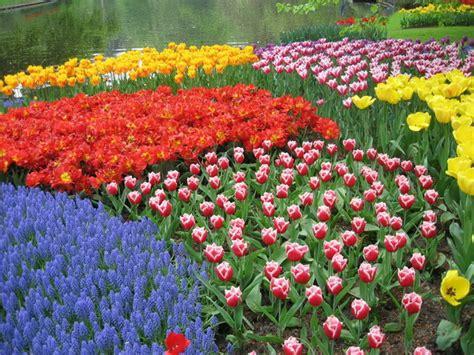 Biji Bunga Tulip demuska bunga tulip