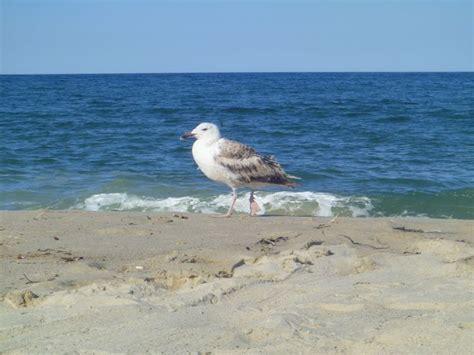 seagull cape cod seagull nauset cape cod ma cape cod ma