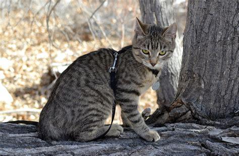 5 Big Cat Breeds   PawCulture