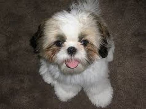 shih tzu info top 10 cool facts about shih tzus
