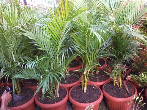 jual palem kuning cocok  tanaman indoor jenis palem