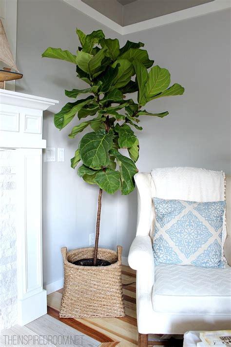 fiddle leaf fig  inspired room