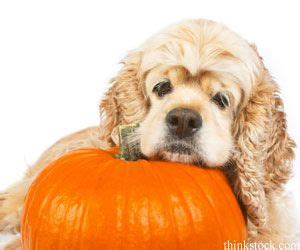 what helps dogs with constipation 22 best images about on pumpkins ghost costume