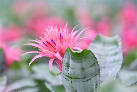 aechmea bromeliad care tips  growing  aechmea