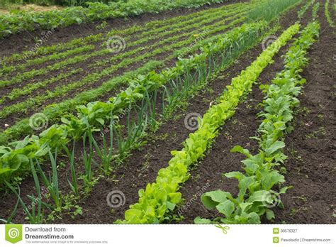 Organic Pesticides For Vegetable Garden A Vegetable Garden In Late Royalty Free Stock