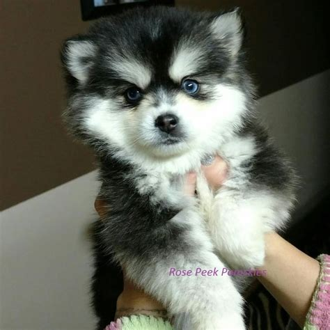 pomeranian puppies for sale in hawaii best 25 pomsky for sale ideas on pomsky for sale pomsky puppies for