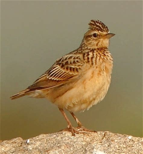 tawny lark pictures  facts birds  thewebsiteofeverythingcom