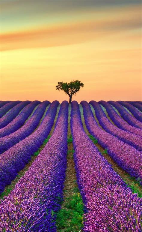 best provence best 25 lavender fields ideas on provence