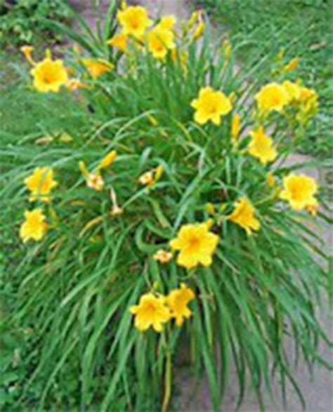 daylilies colors large and colorful daylilies are easy to grow and edible
