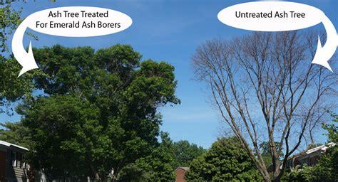 emerald ash borer treatment saving ash trees  eab