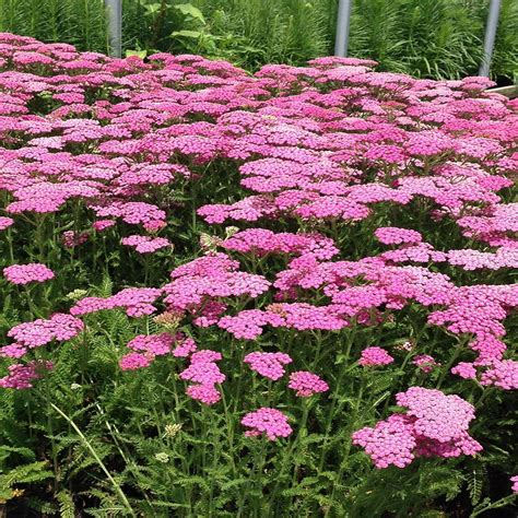 onlineplantcenter 1 gal lilac pink yarrow plant a3871g1 the home depot