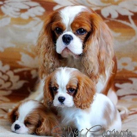 king cavalier beautiful cavalier king charles spaniels for the of animals