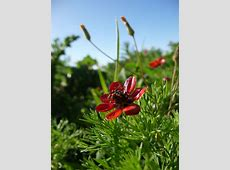 Seed plants - Simple English Wikipedia, the free encyclopedia Gnetophyta Ephedra