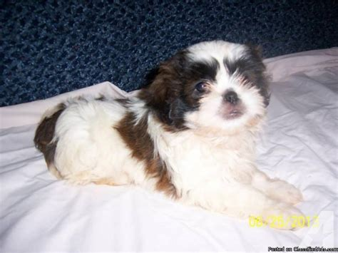 shih tzu puppies for sale in ky gorgeous shih tzu puppies for sale in lancaster kentucky classified americanlisted