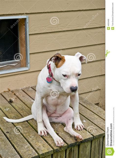 Do Pitbulls Shed by American Staffordshire Terrier Pitbull Royalty Free Images